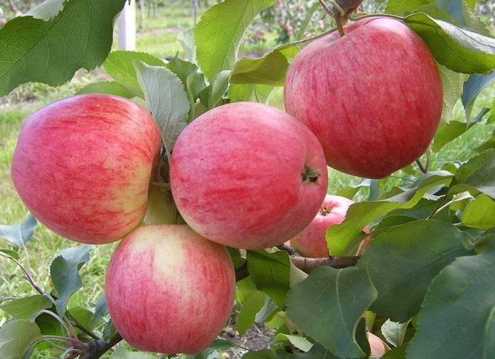 Яблоня пепин шафранный: описание сорта