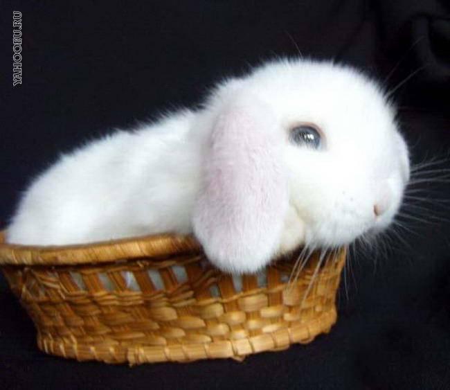 Симптомы глистов у кроликов, лечение препаратами и народными средствами