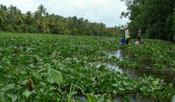 Гиацинты: посадка и уход в открытом грунте