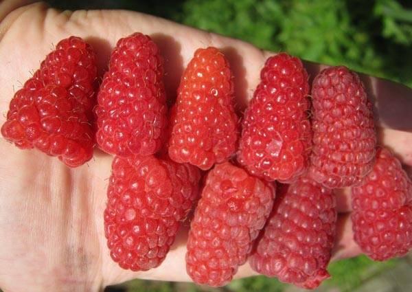 О малине гигант московский (гигантелла): описание сорта, особенности по уходу