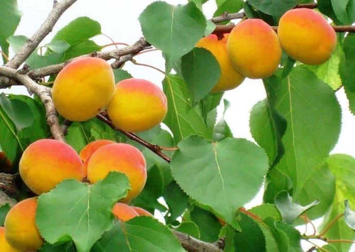 Особенности абрикоса сорта нью-джерси