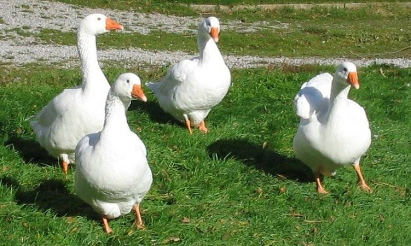 Чем кормить гусей в домашних условиях летом, зимой, чтобы они набирали вес, на мясо? чем кормить гусей в 2 месяца?
