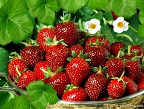 Клубника сорт деройял: ароматная ягода из франции