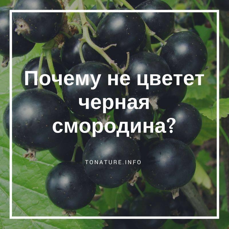 Смородина черная не плодоносит, что делать. почему не плодоносит?