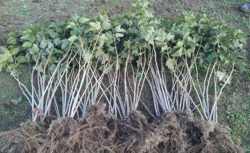 Отличия и особенности посадки чёрной, красной и золотистой смородины