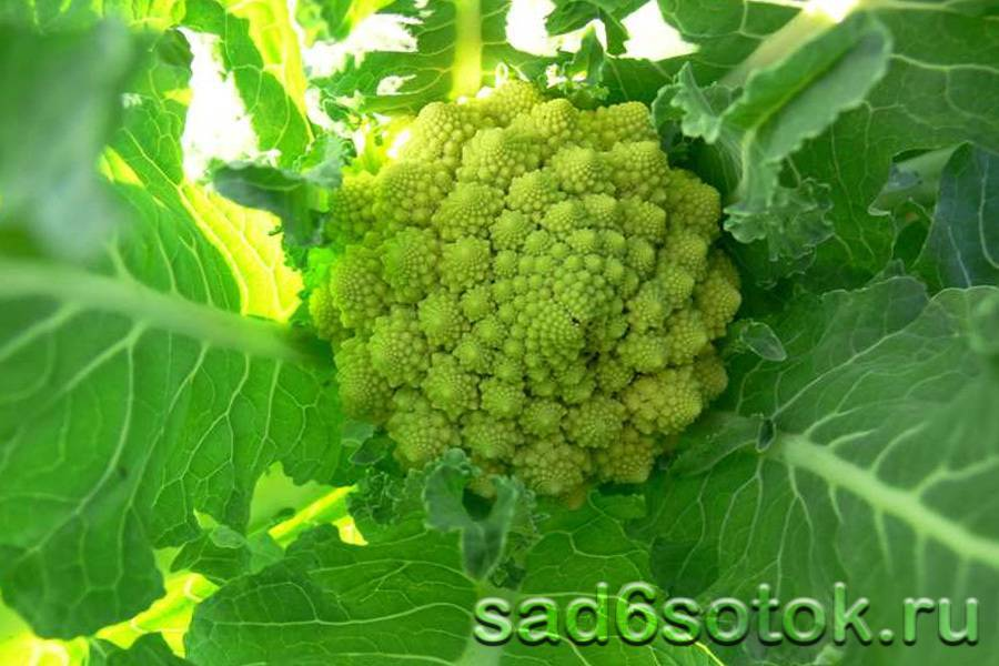 Сорта и гибриды цветной капусты