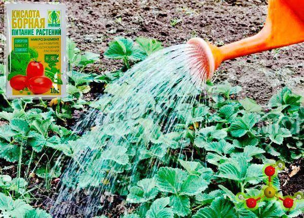 Чем подкормить клубнику во время плодоношения - самые безопасные и эффективные удобрения