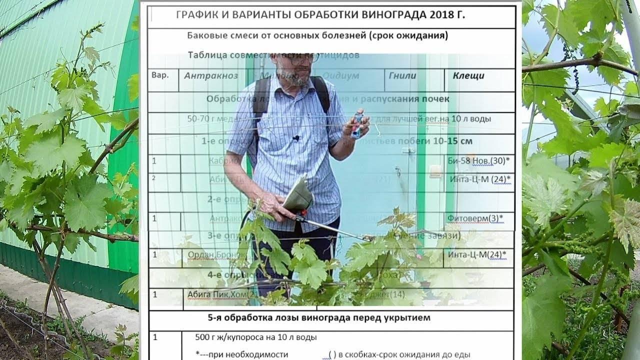 Чем обработать виноград весной после открытия от болезней и вредителей