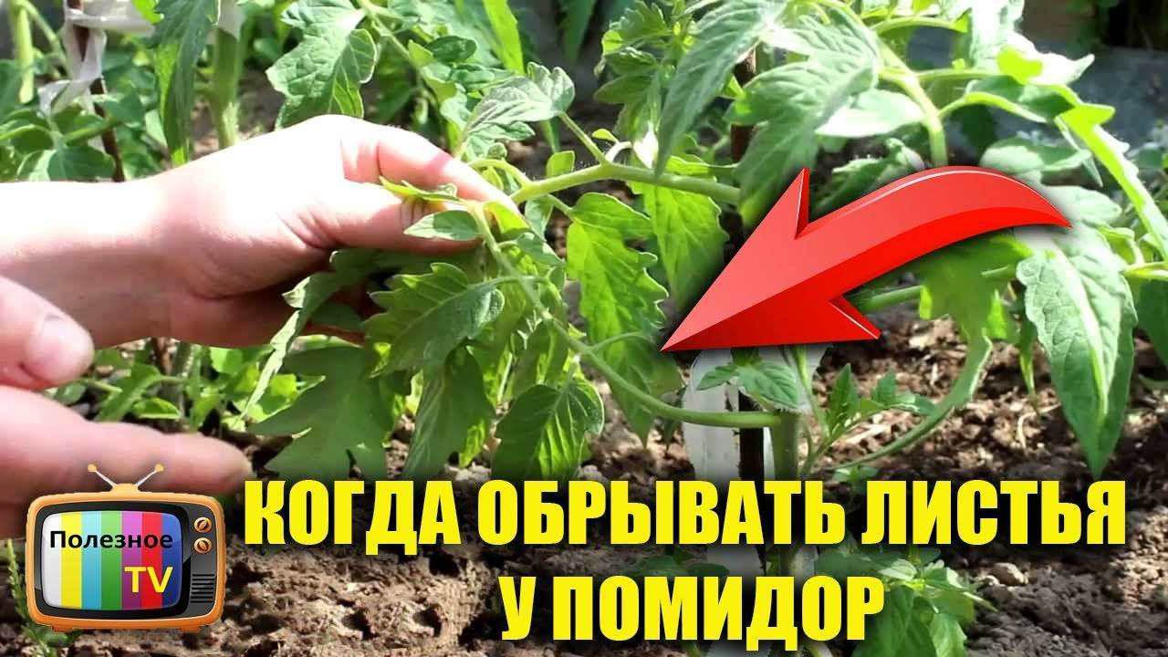 Нужно ли обрывать нижние листья у томатов: как и когда обрезать листву помидор
