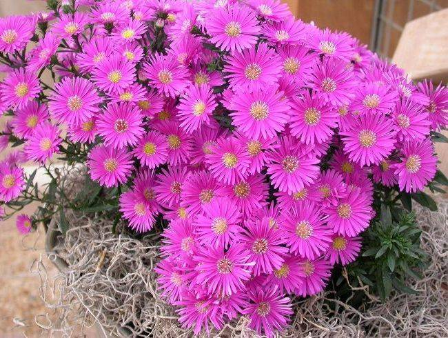 Астра - цветок многолетний. описание, уход и выращивание