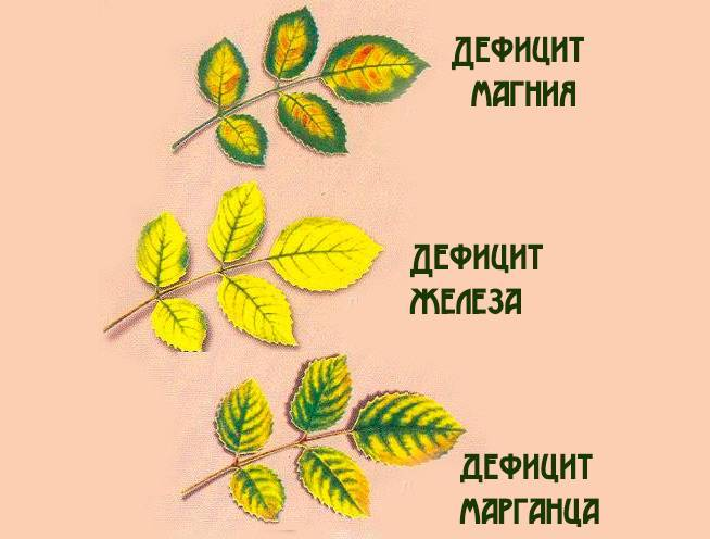 Почему и что делать, если у роз желтеют и опадают листья: меры борьбы, лечение
