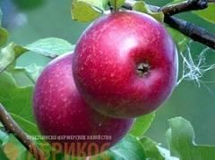 Нужен обильный урожай с минимумом усилий? присмотритесь к сорту яблонь краса свердловска