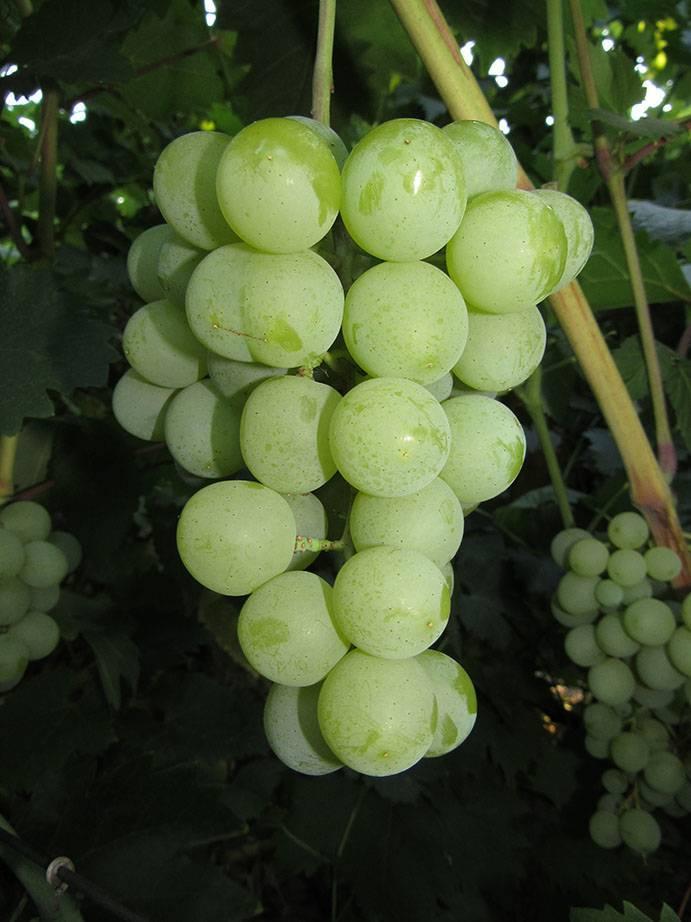 Виноград галбена ноу: характеристика и описание сорта, посадка