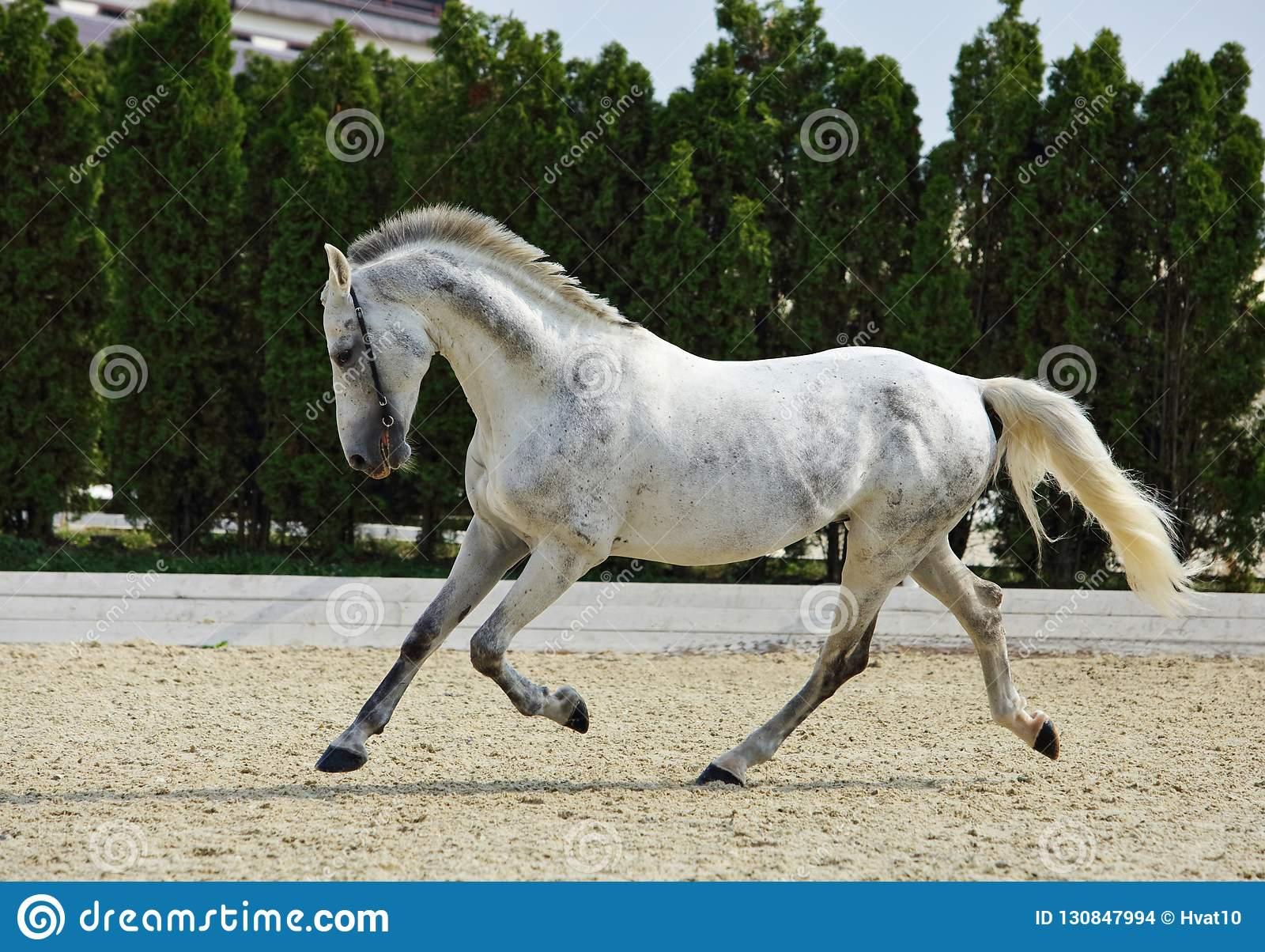 Андалузская лошадь: описание породы, характеристики и фото