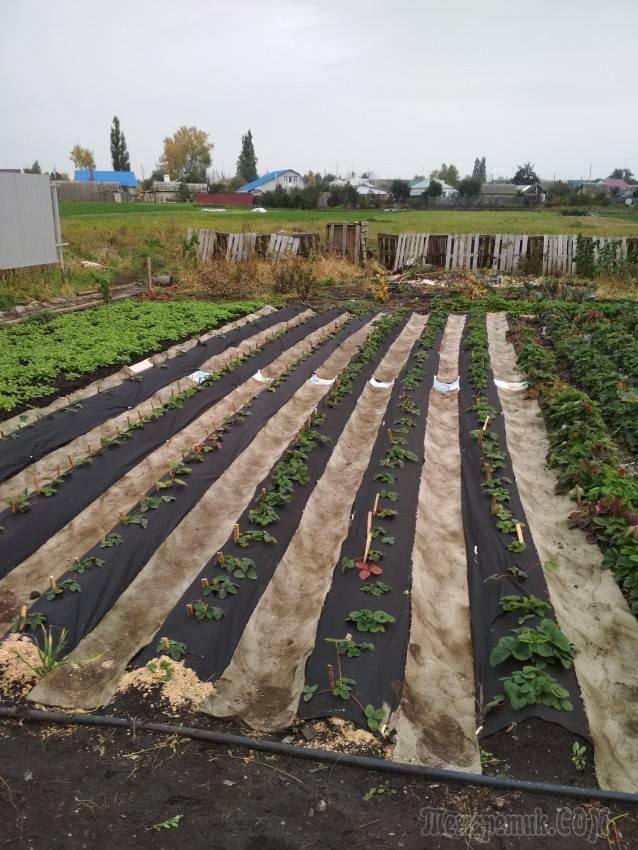 Схема посадки клубники на агроволокно. как выбрать агроволокно для клубники. схема посадки, применение,