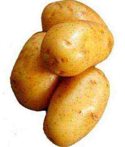 Отечественный картофель сорта любава: быстрое созревание, длительное хранение