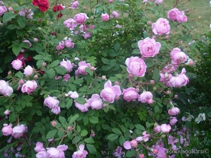 О розе alain souchon: описание и характеристики сорта, уход и выращивание