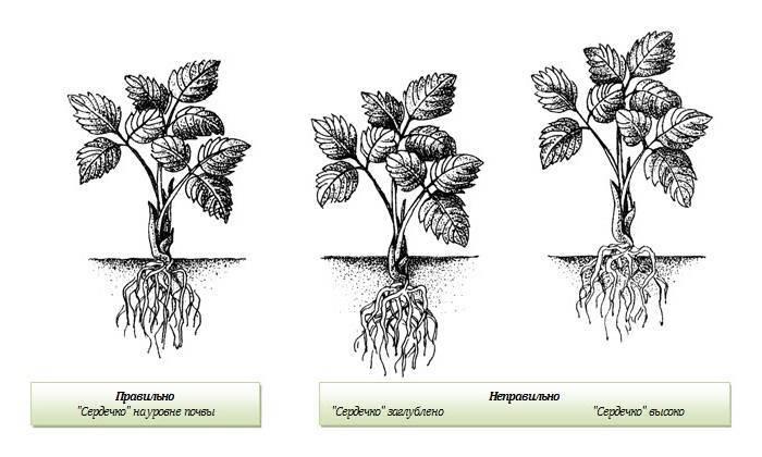 Выращивание клубники от посадки до сбора урожая