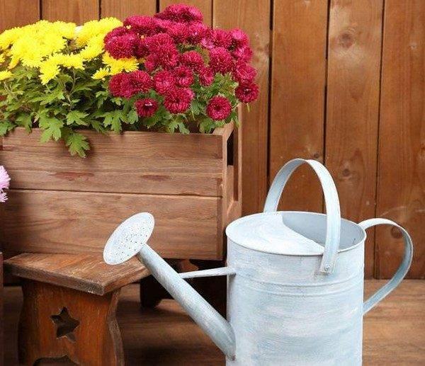 Чем подкормить хризантемы? подкормка летом в июне. чем удобрить, чтобы она быстрее зацвела? чем удобрять ее для роста?