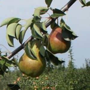 Описание осеннего сорта груши брянская красавица