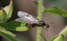Как избавиться от муравьев на смородине - 95 фото и видео чем обработать смородину