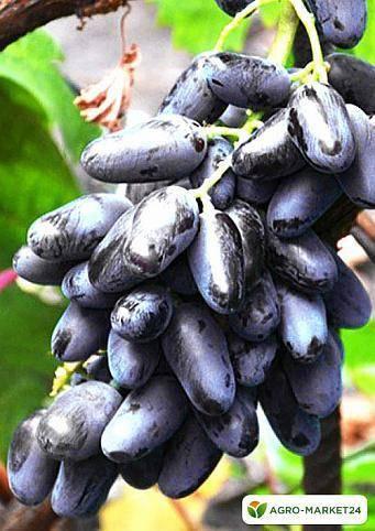 Сорт винограда байконур