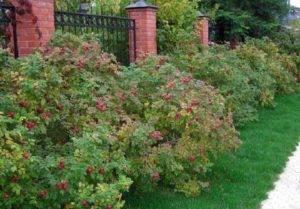 О розе морщинистой Hansa: описание и характеристики сорта парковой розы