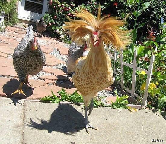 Русская хохлатая курица: описание породы и секреты разведения