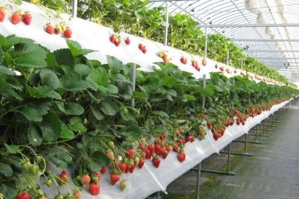 Как вырастить клубнику по голландской технологии, и собирать урожай круглый год