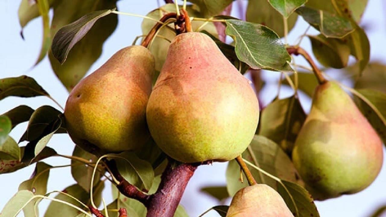 Карликовая яблоня: посадка и уход, фото, обрезка, описание сортов для подмосковья