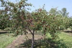 Особенности сорта черешни ленинградская черная. фото, отзывы