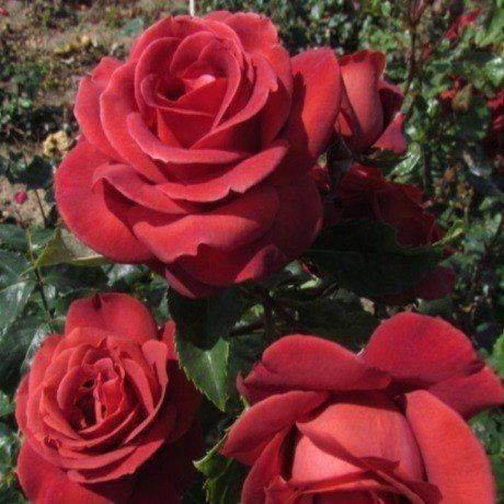 Выращивание сорта роз терракота