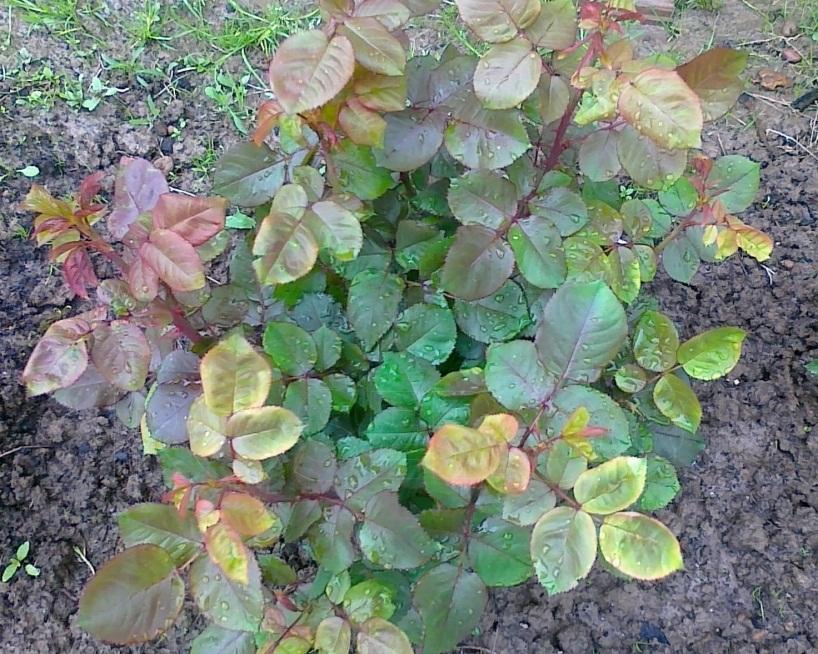 У комнатной розы желтеют листья что делать