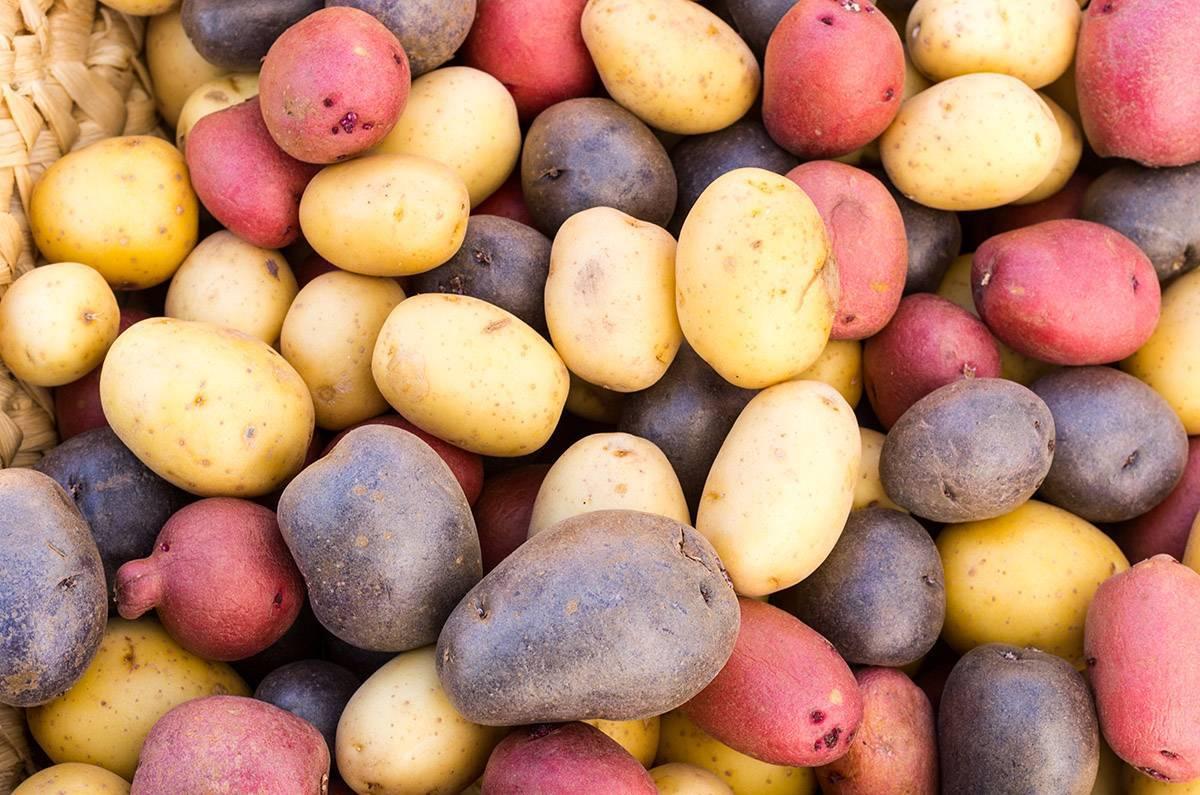 Картофель лина