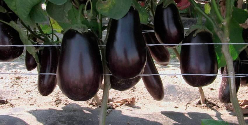 Выращивание, уход за рассадой, высадка в открытый грунт баклажанов