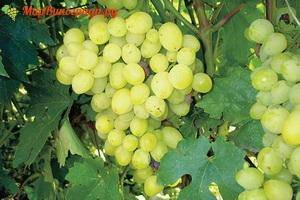 Кристалл– ранний и морозостойкий сорт технического винограда