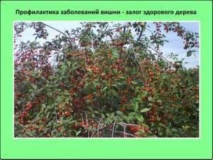 Вредители и болезни вишни - борьба с ними, фото симптомов