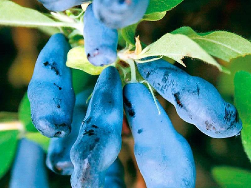 Характеристика и особенности выращивания жимолости сорта синяя птица