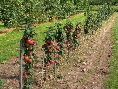 Все о колоновидной груше: как посадить и ухаживать, формирование кроны