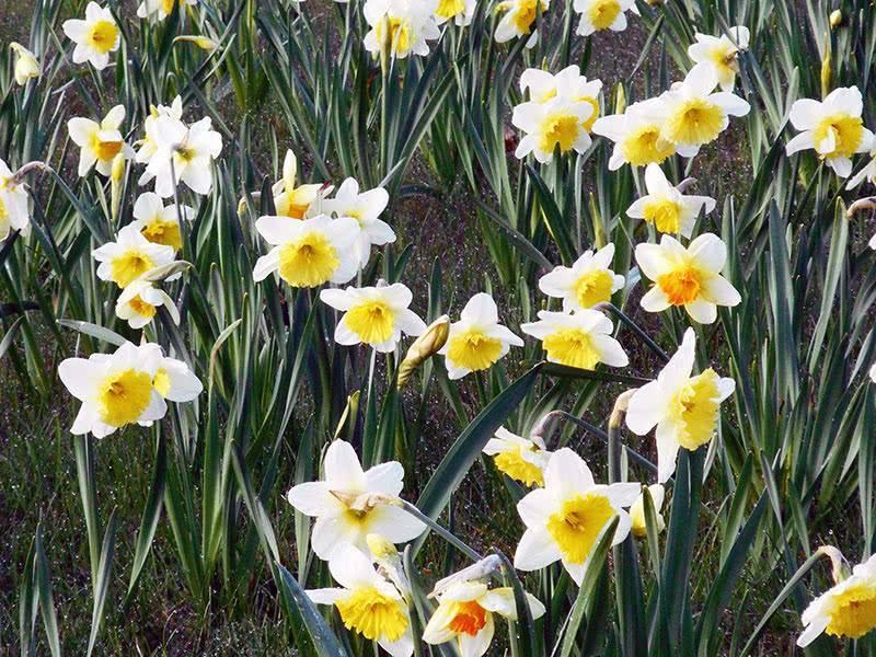 О пересадке нарциссов после цветения в открытом грунте (когда можно рассаживать)