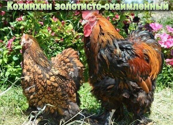 Кохинхин (порода кур)