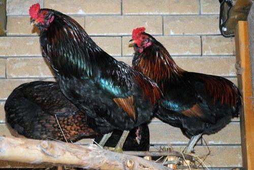 Араукана порода кур: описание породы, выращивание и уход