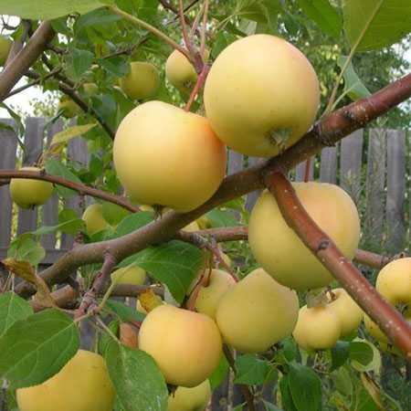 Яблоня феникс алтайский - описание сорта. феникс алтайский - биологически ценный сорт яблок сорт яблони феникс алтайский