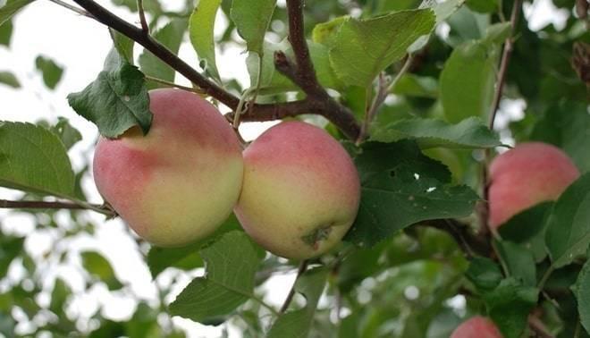 Подробная характеристика и особенности выращивание яблони сорта корей