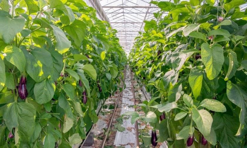 Выращивание баклажанов в теплице: пошаговая технология по получению богатого урожая