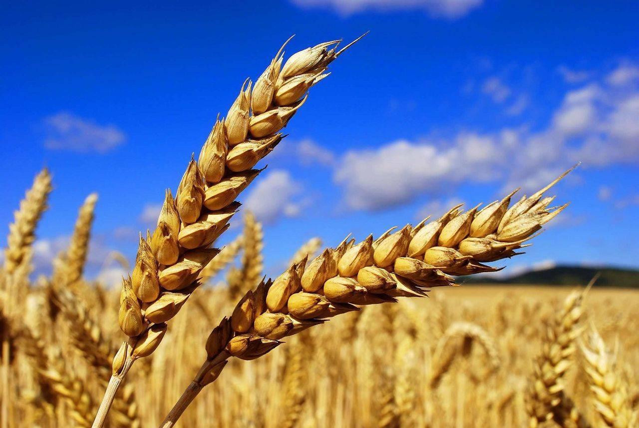 Рацион кроликов: каким зерном можно кормить животных и как его правильно приготовить?