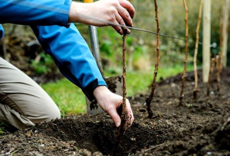 О подкормке ежевики весной: удобрения и уход для увеличения урожая