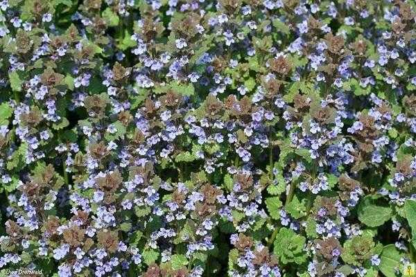 Почвопокровные многолетники: названия видов с описанием, выращивание и уход | (35+ фото & видео) +отзывы