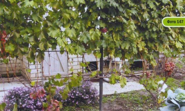 Секреты формирования урожайных кустов винограда