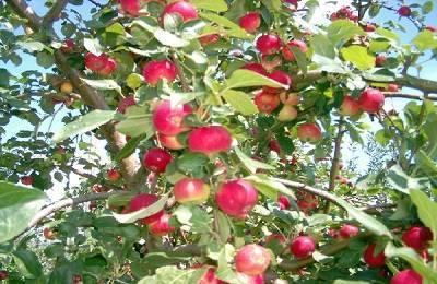 Особенности выращивания яблони сорта заветное
